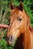 Cacho  - The Horses and Ponies of Chukkar Farm