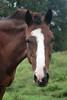 Nash  - The Horses and Ponies of Chukkar Farm