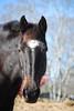Star  - The Horses and Ponies of Chukkar Farm