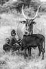 Japta milking, Wodaabe tribe
