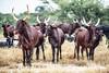 Fulani cattle