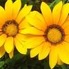 Yellow Hellos