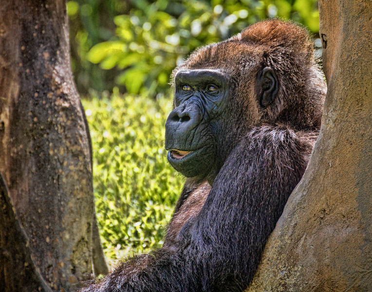Gorilla has something to say