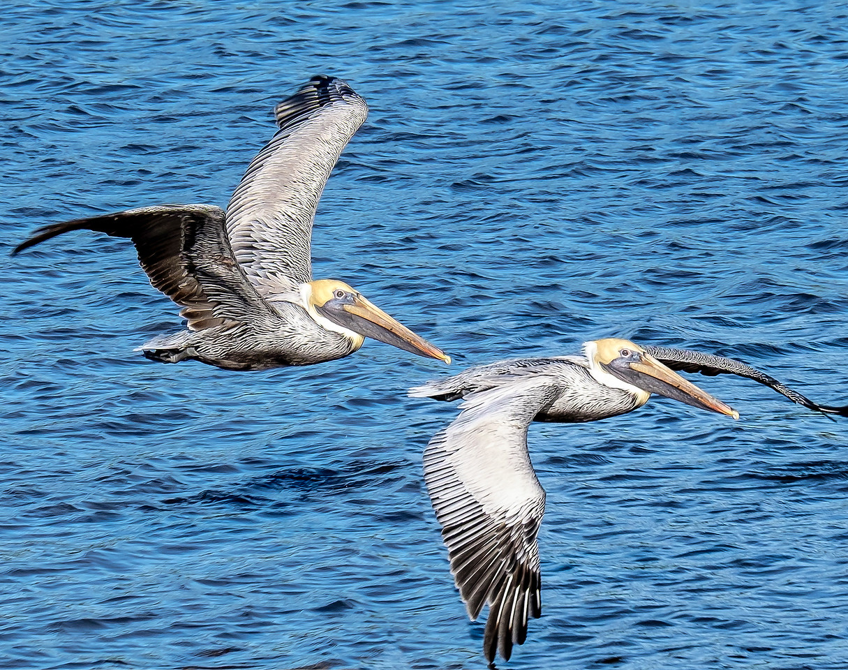 Pelicans in Flight
