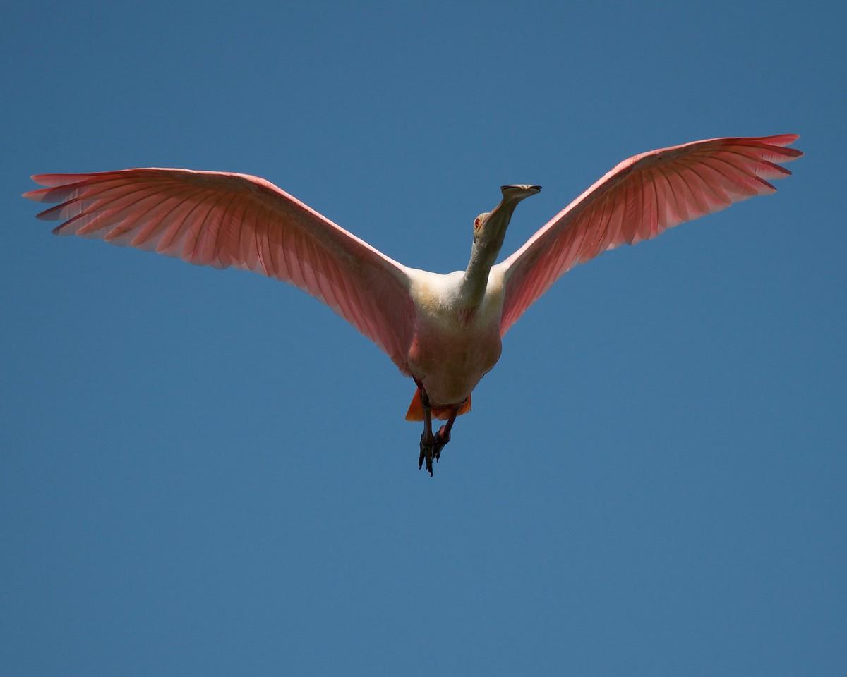 Spoonbill overhead