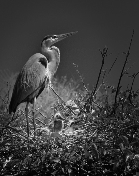 Blue Heron W  Chicks B&W