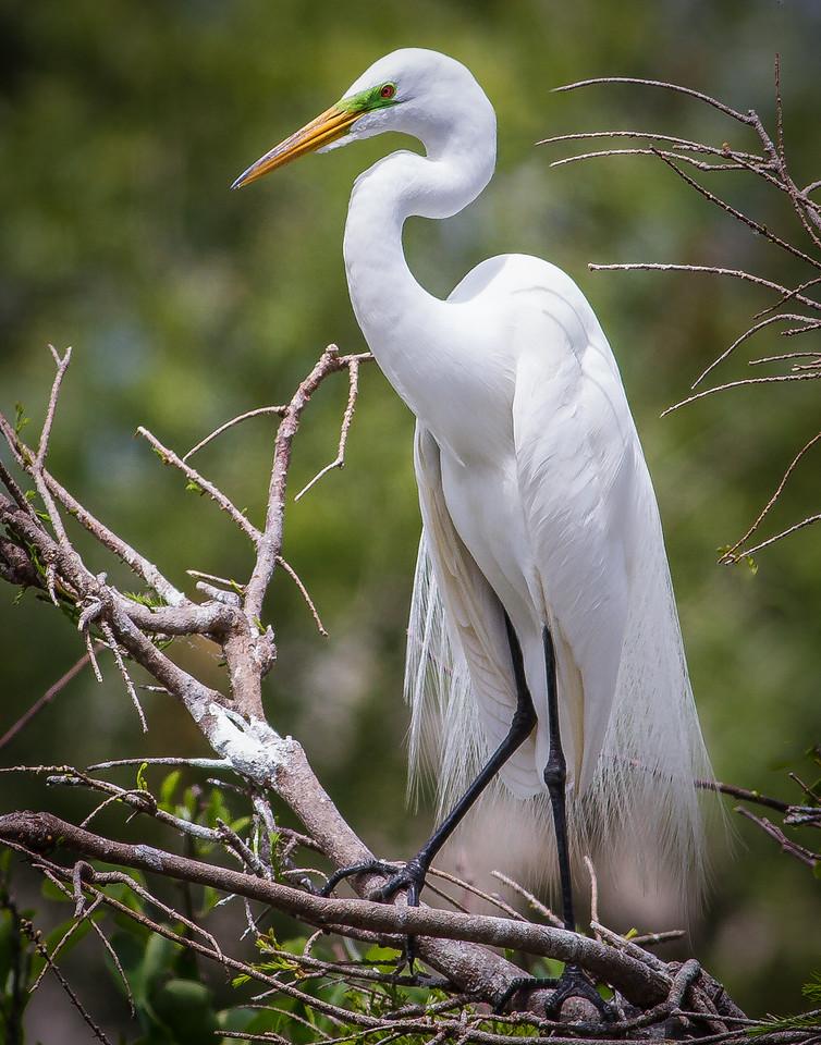 Magnificent Great Egret