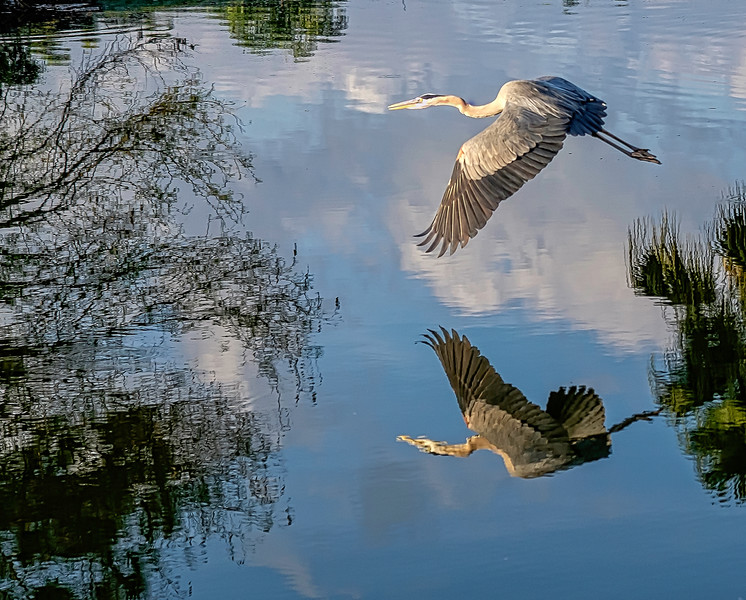 Blue Heron Reflecting