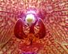 Orchid Drops