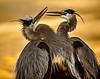Mating Great Blue Herons