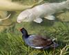 Fish & Mor Hen