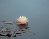 Lone Waterlily