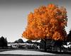 """foliage """"pignut tree"""""""