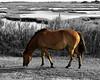 Assateague Island Wild Horse