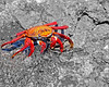 Galapagos Sally Lightfoot Crab