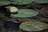 Water Lily -Ann