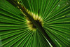 """Backlit Fan Palm""<br /> Wildcat"