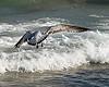 Pelican aloft<br /> Richard Friedkin