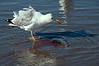 Seagull Eating Fish As Tide Ebbs and Flows<br /> Gloria Fine