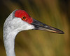 Ibis Sand Hill Crane<br /> Mike Packman