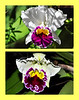 Orchid Sun & Flash<br /> Sharon Galvin