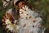 Milkweed pods<br /> Maureen McCormack