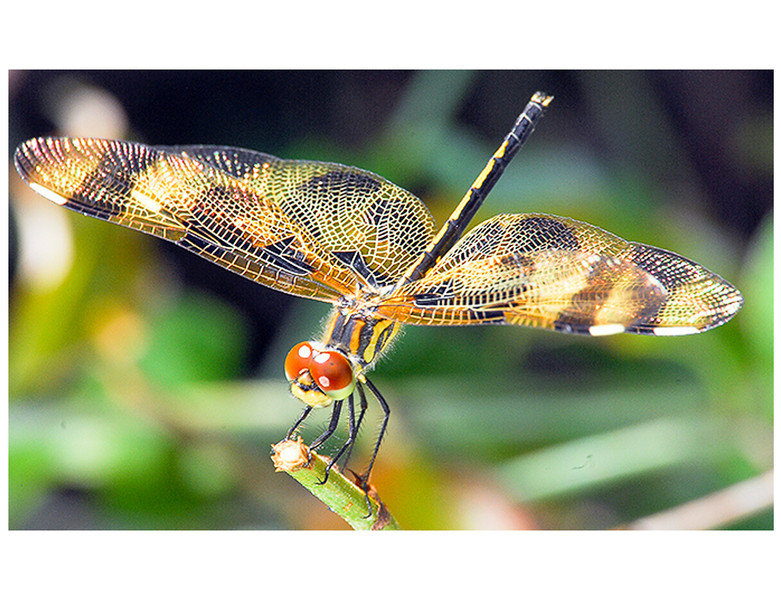 """""""The Dragonfly"""""""