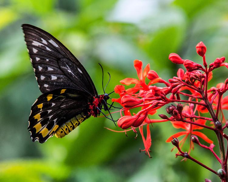 """""""Birdwing"""" Butterfly Feeding"""
