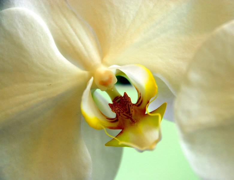 """""""The Orchid"""""""