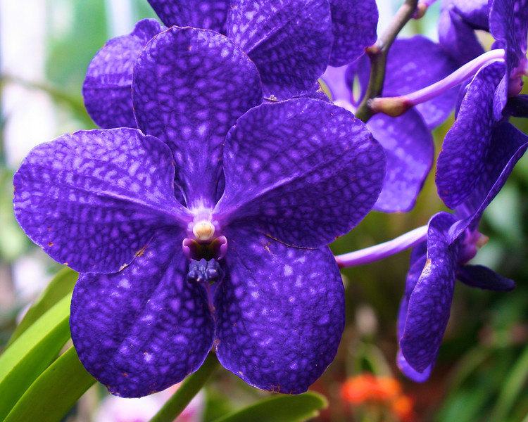 The Glorious Orchid