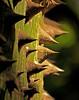 Silk Floss Tree Bark