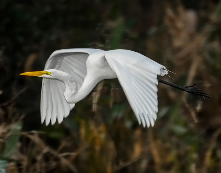 Coming In For A Landing - Great Egret