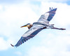 High Flying Blue Heron