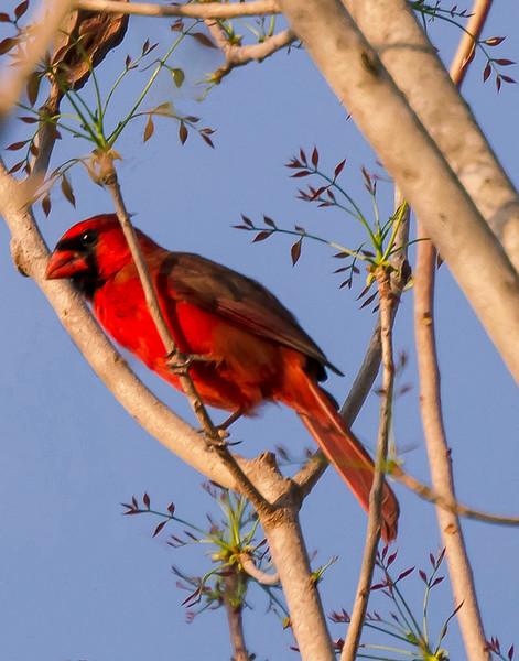 Osprey Cardinal