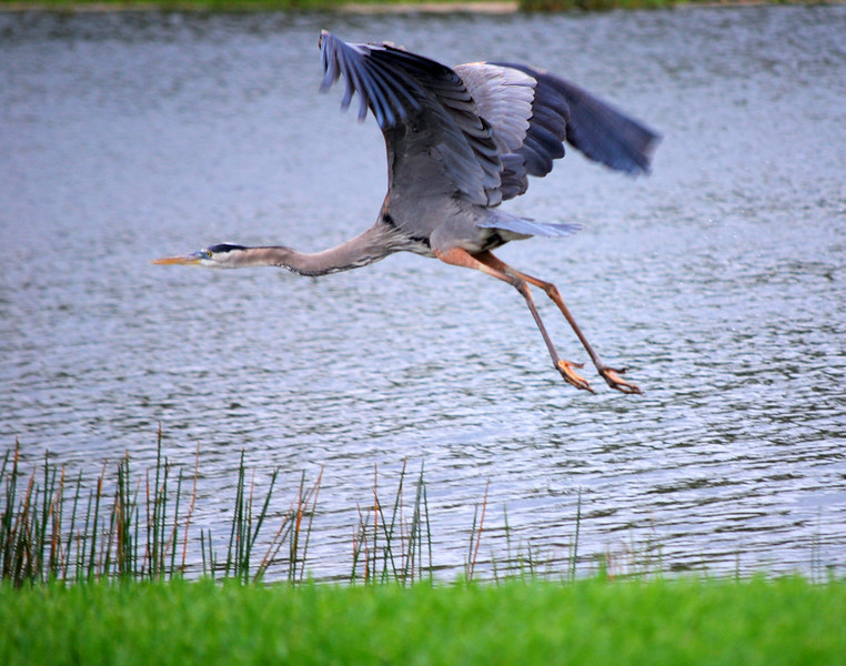 Anhinga Flying
