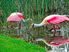 A Pair Of Roseate Spoonbills with<br /> Breeding Plumage