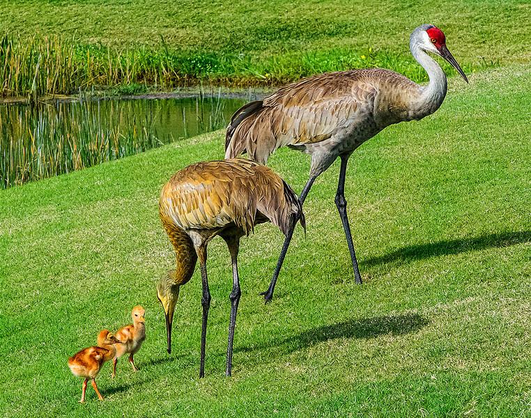 Ibis Sandhill Crane Family