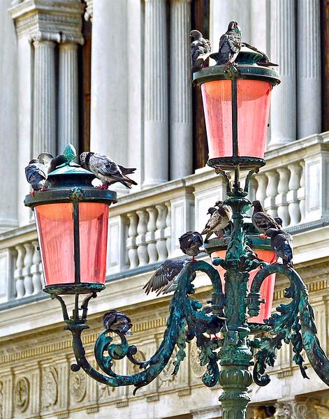Pigeon's  D-Light