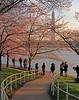 Cherry Blossom View