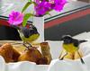 Little Bananaquit Birds