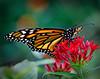 Little Monarch Butterfly