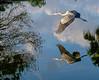 Blue Heron Reflecting