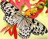 Texas Kite Butterfly
