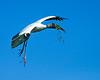 Wood Stork w Twig