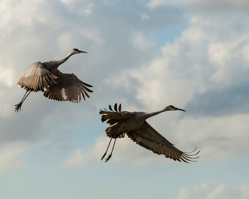 Two Sandhill Cranes Inflight