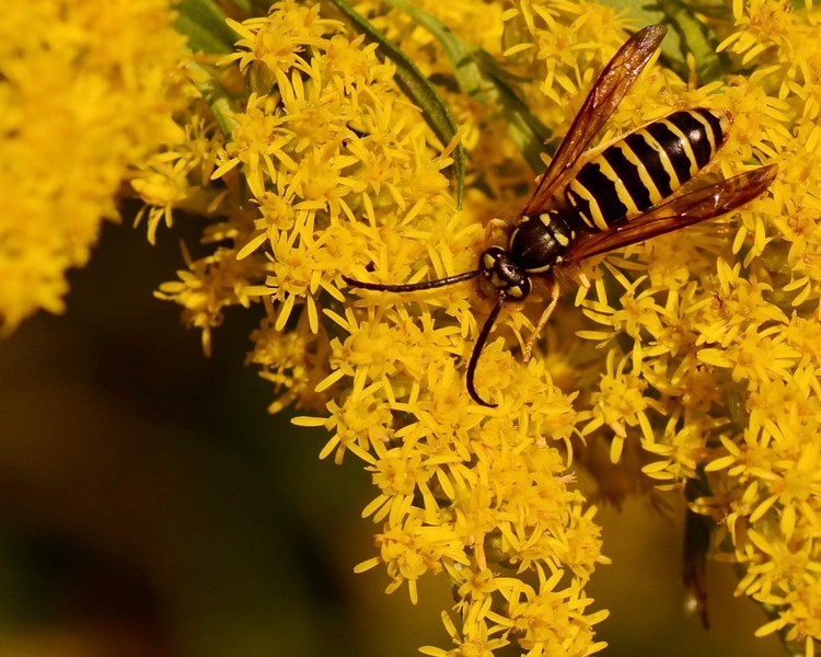 wasp and goldenrod
