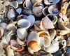 Sea Shells By the Sea Shore