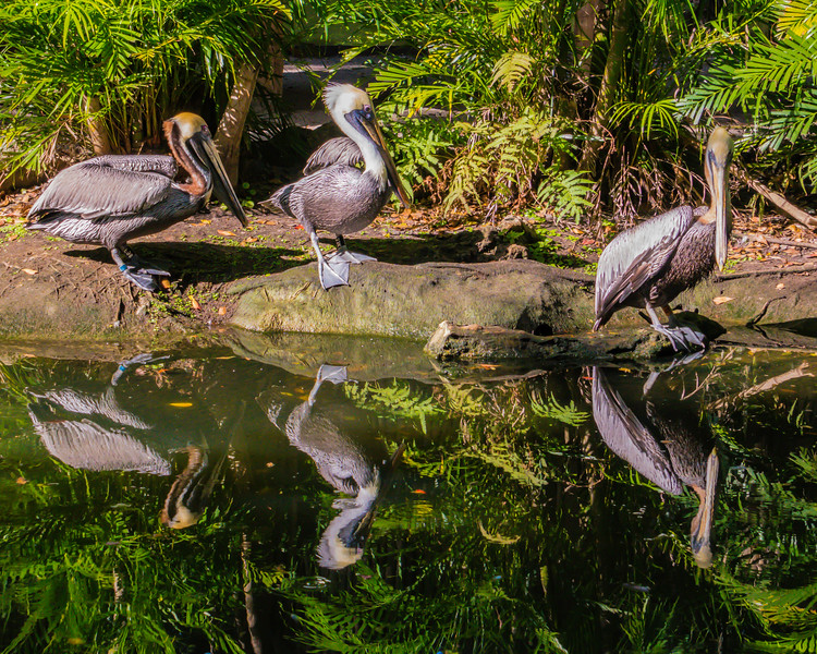 Pelicans at Palm Beach Zoo