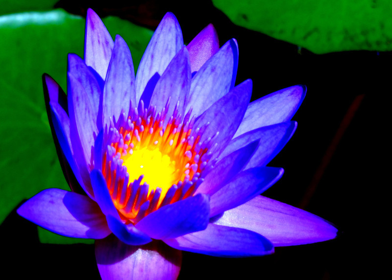 Radiant Waterlily