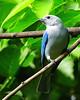 Bluebird  on a Twig